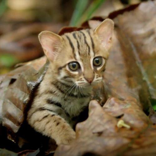 Die kleinste Wildkatze der Welt