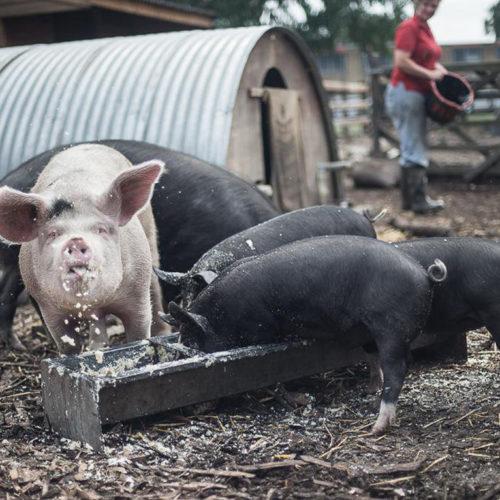 Essensreste im Schweinetrog schonen die Umwelt