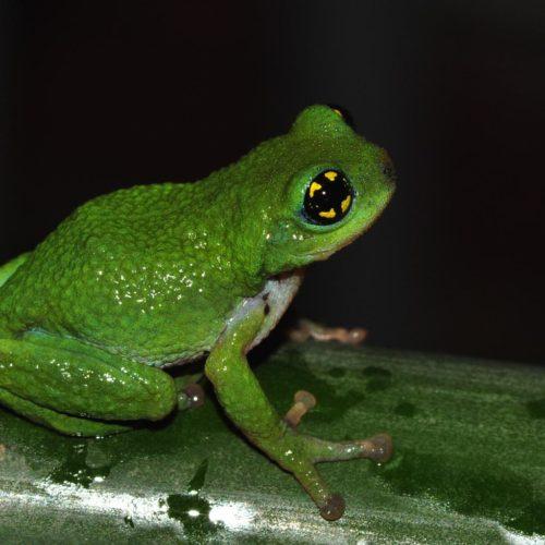 Froschpapas schützen Nachwuchs vor Kannibalismus