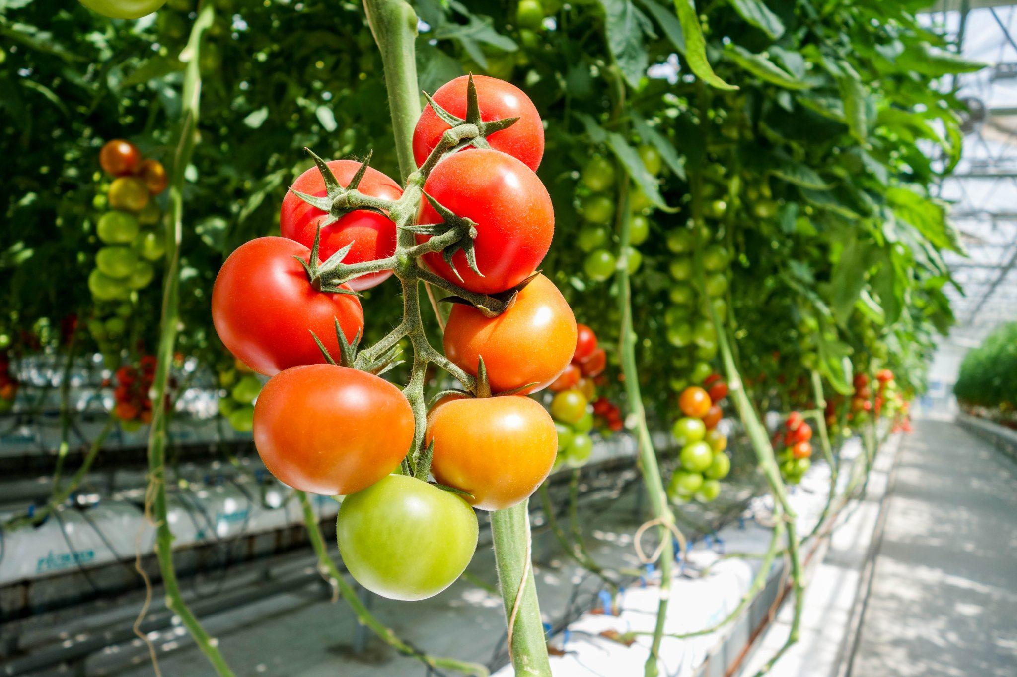 Viel Higgs Nicht Haben Tomaten Geschmack Deshalb › OXukTPZwi