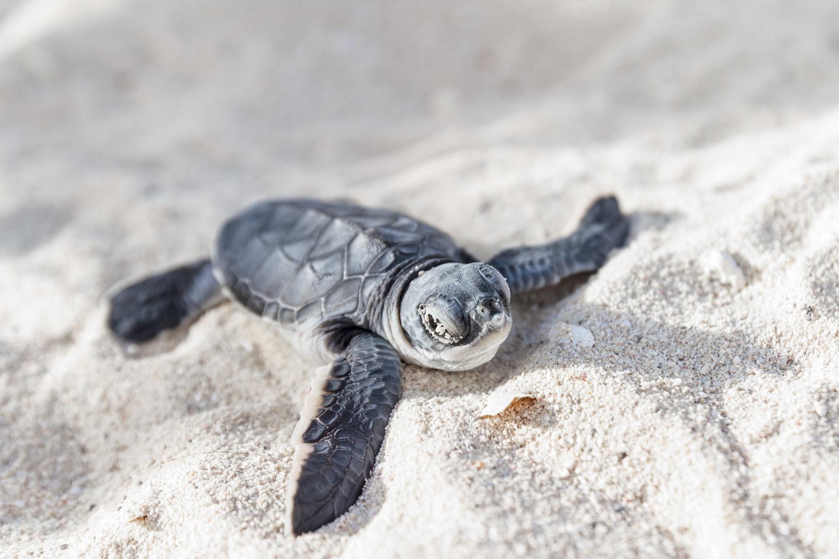 Eine junge Suppenschildkröte kriecht von links oben nach rechts unten durch den Sand.