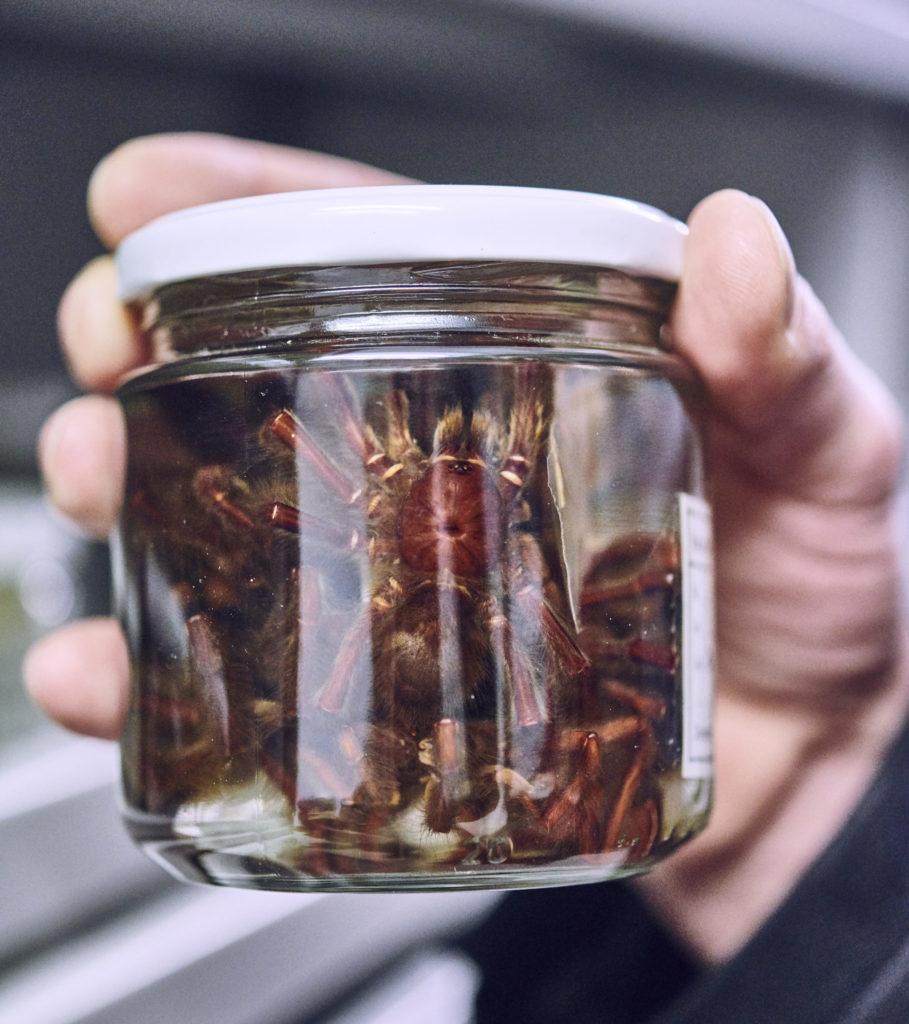 In einem verschlossnen Glas sieht man die braun gefärbten Vogelspinnen.