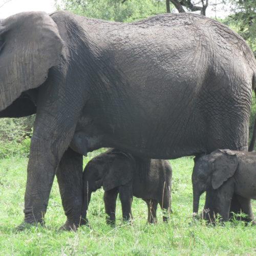 Elefantenzwillinge erfreuen Naturschützer in Tansania
