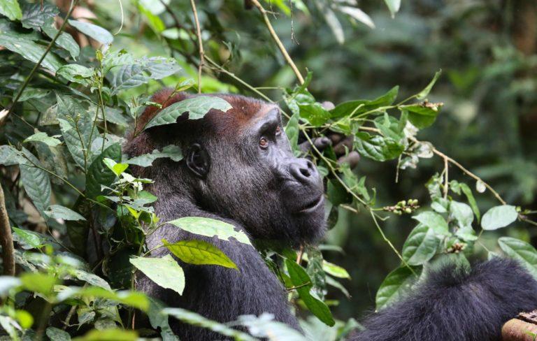 Ein Gorilla zwischen vielen Blättern.