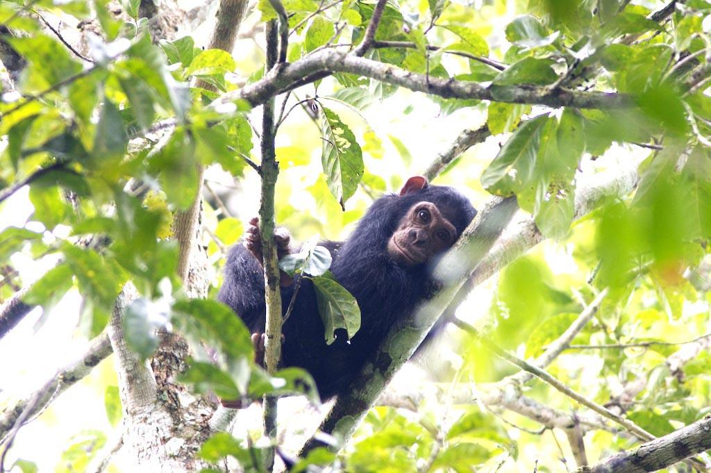 Ein Schimpansenbaby sitzt auf einem Baum