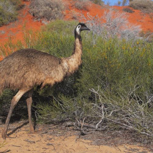 Früher gab es auch viel kleinere Emus