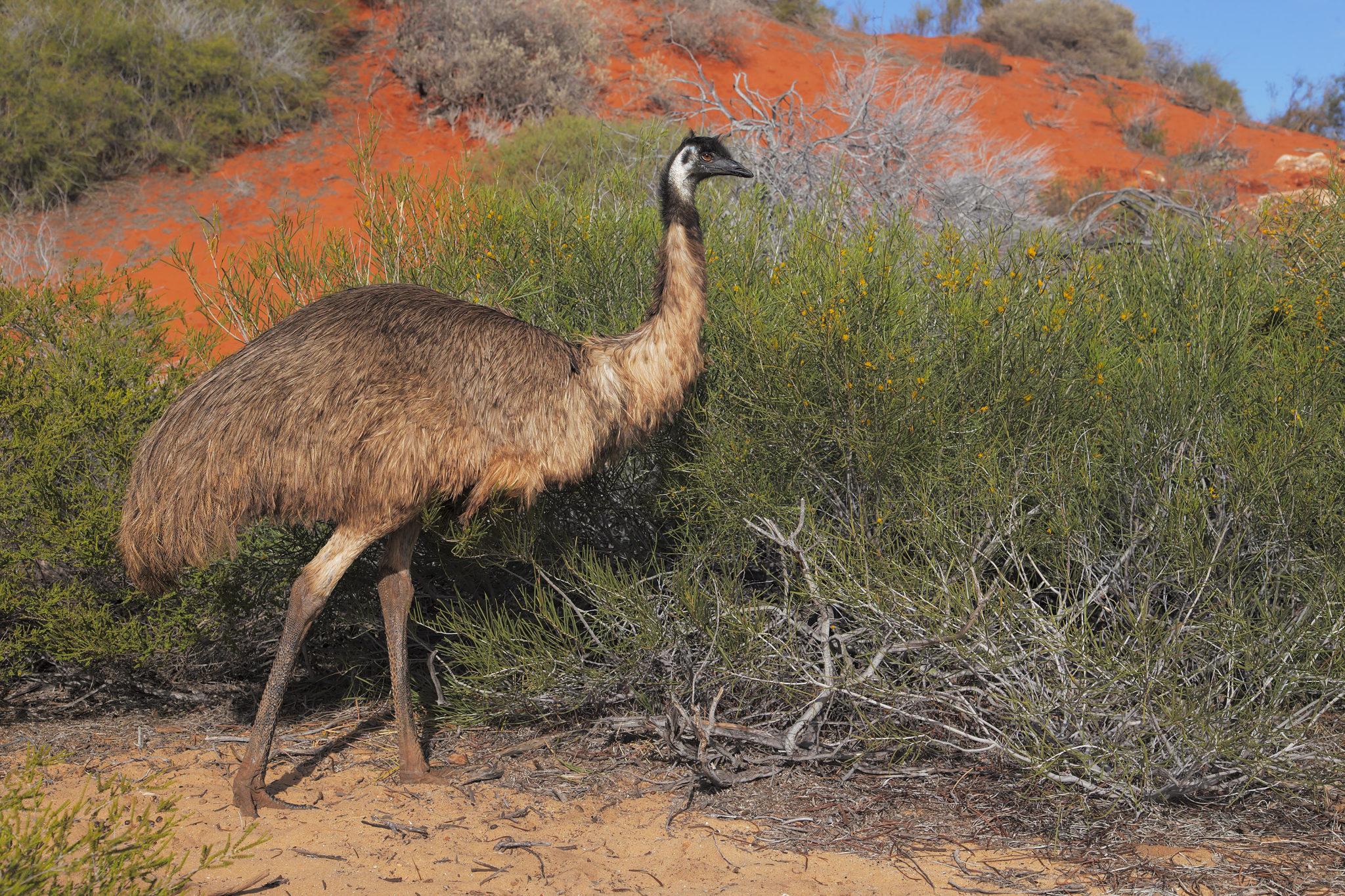 Ein stolzer Grosser Emu in der Wüste Australiens