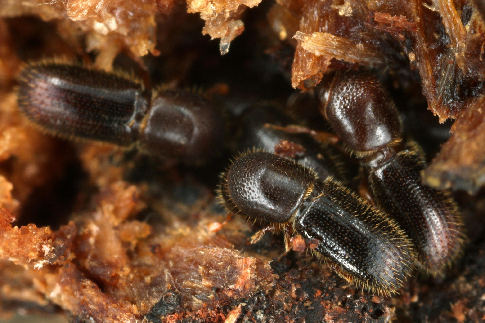 Man sieht Ambrosiakäfer. die ihren Pilzgarten pflegen.