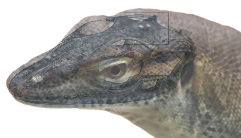 Modellbild der Echse Saniwa ensidens