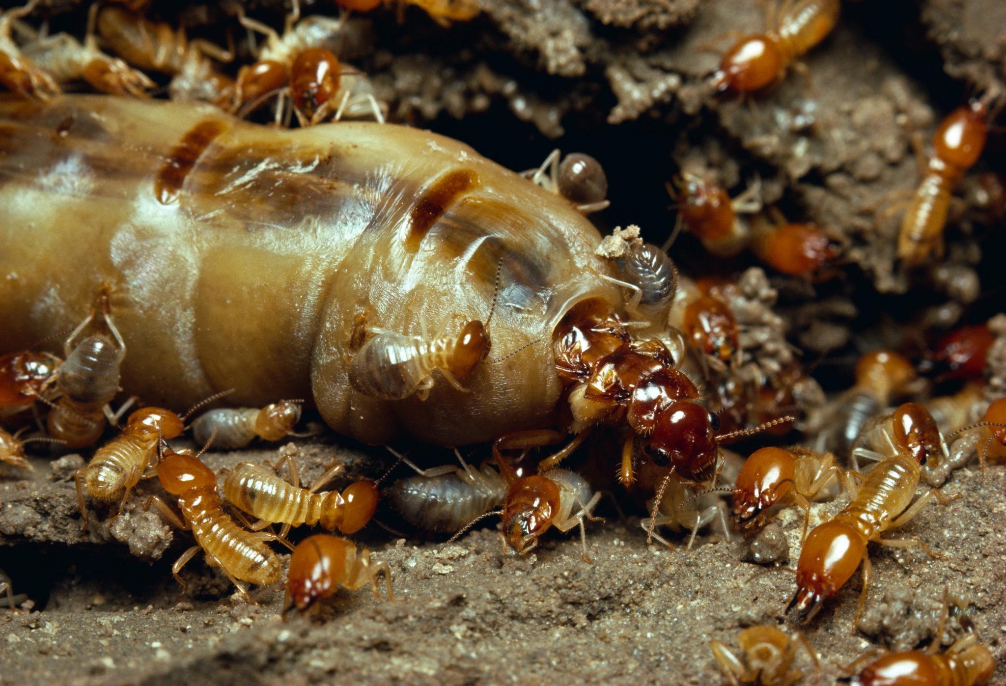 Im Inneren eines Termitenhügels: Die Königin der Termitenart Macrotermes bellicosus ist ungefähr einen Zentimeter gross und wird von Arbeitern umsorgt, die nur wenige Millimeter messen.