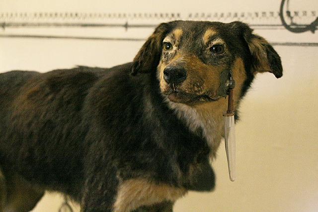 Einer der Versuchshunde von Iwan Pawlow. Das Fläschchen am Maul diente dazu, den Speichel des Hundes aufzufangen.
