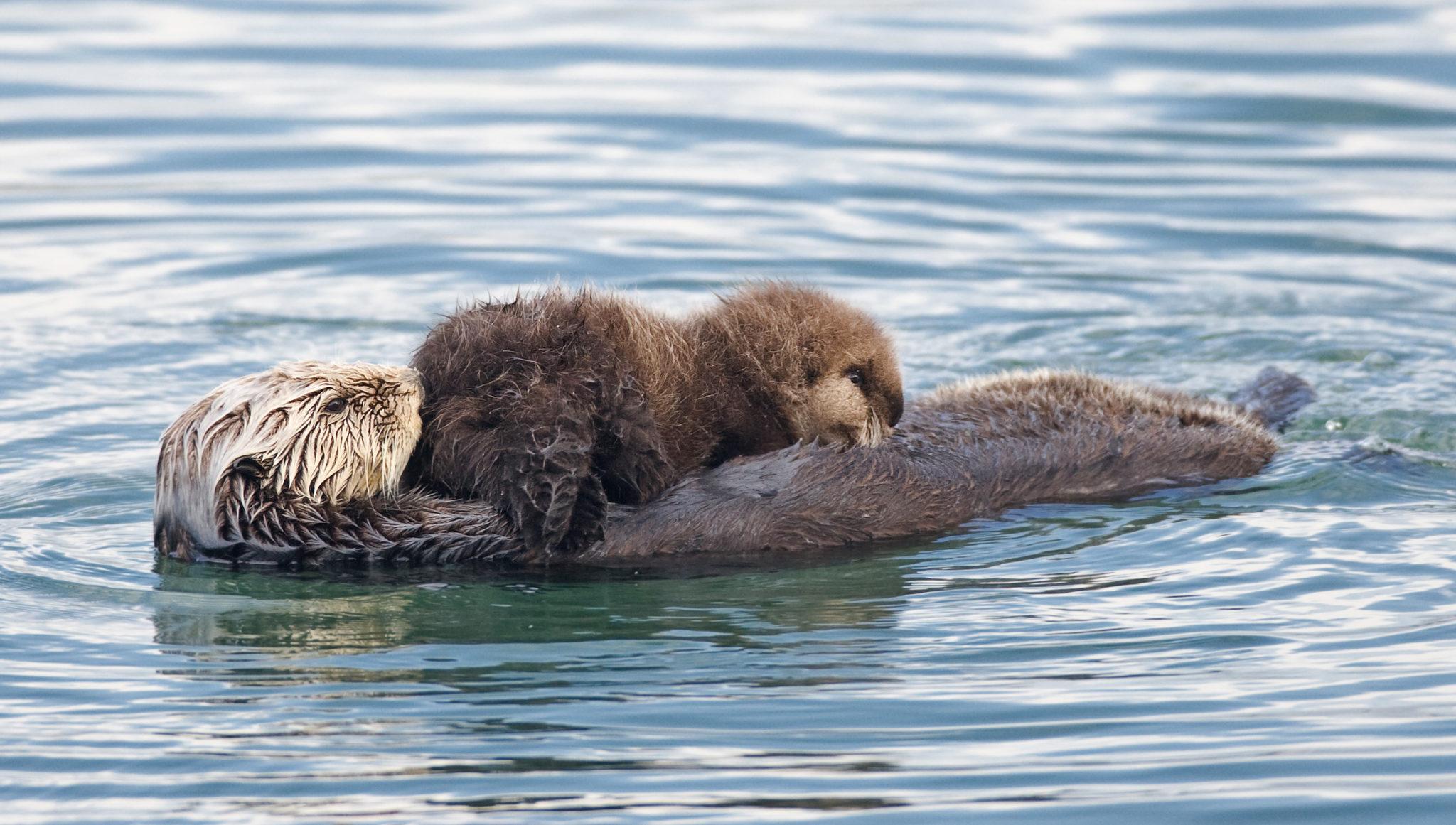 Seeotter bekommen das ganze Jahr über Junge. Hier eine Ottermama an der Küste Kaliforniens, deren Junges (das Fellknäuel in der Bildmitte) sich gerade satt säugt.