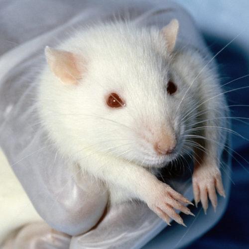 Ratten erinnern sich