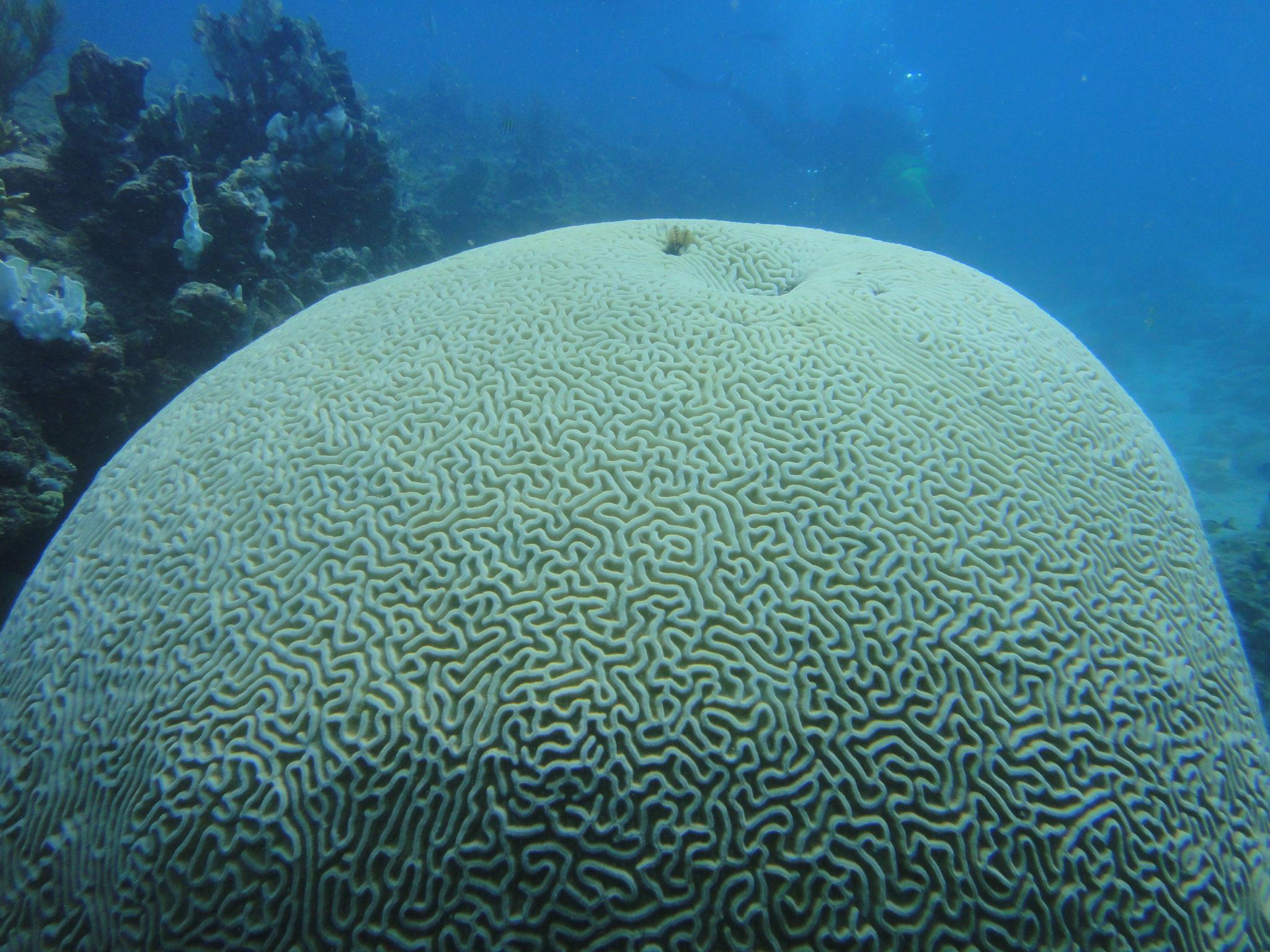 Eine ausgebleichte Hirnkoralle aus der Inselkette Florida Keys. Hier entdeckten Forscher, wie man die Korallenbleiche aufhalten kann.