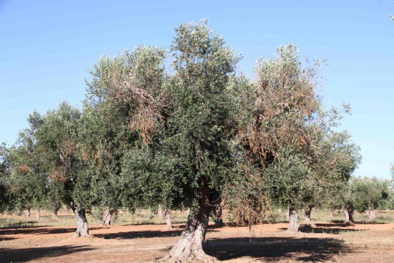 Olivenbäume, die von Feuerbakterien befallen wurden und deshalb einige Blätter verloren haben.
