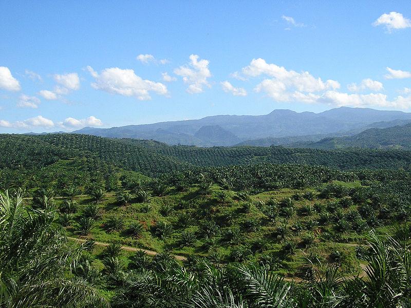 Soweit das Auge reicht: Palmöl-Monokulturen in Indonesien.