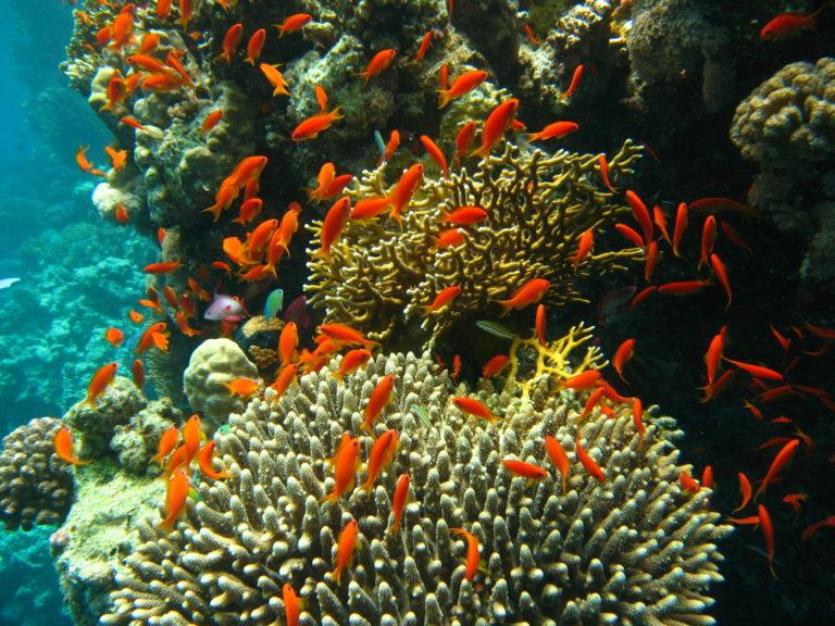 Korallen, wie hier in Ägypten, bieten Schutz und Nahrung für Fische. Doch ihre Artenvielfalt ist stark bedroht.