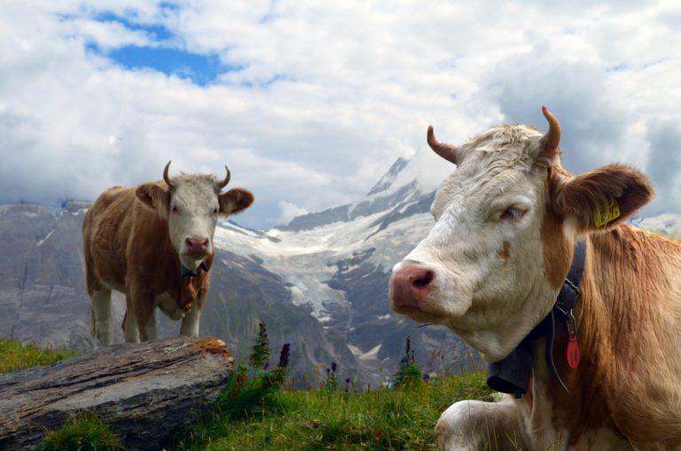 Zwei Kühe stehen auf einer Alp. Im Hintergrund eine schneebedeckte Bergkette.
