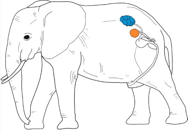 Bei afrikanischen Elefanten bleiben die Hoden (gelb) dort, wo sie im Embryo entstehen: in der Nähe der Nieren (blau).
