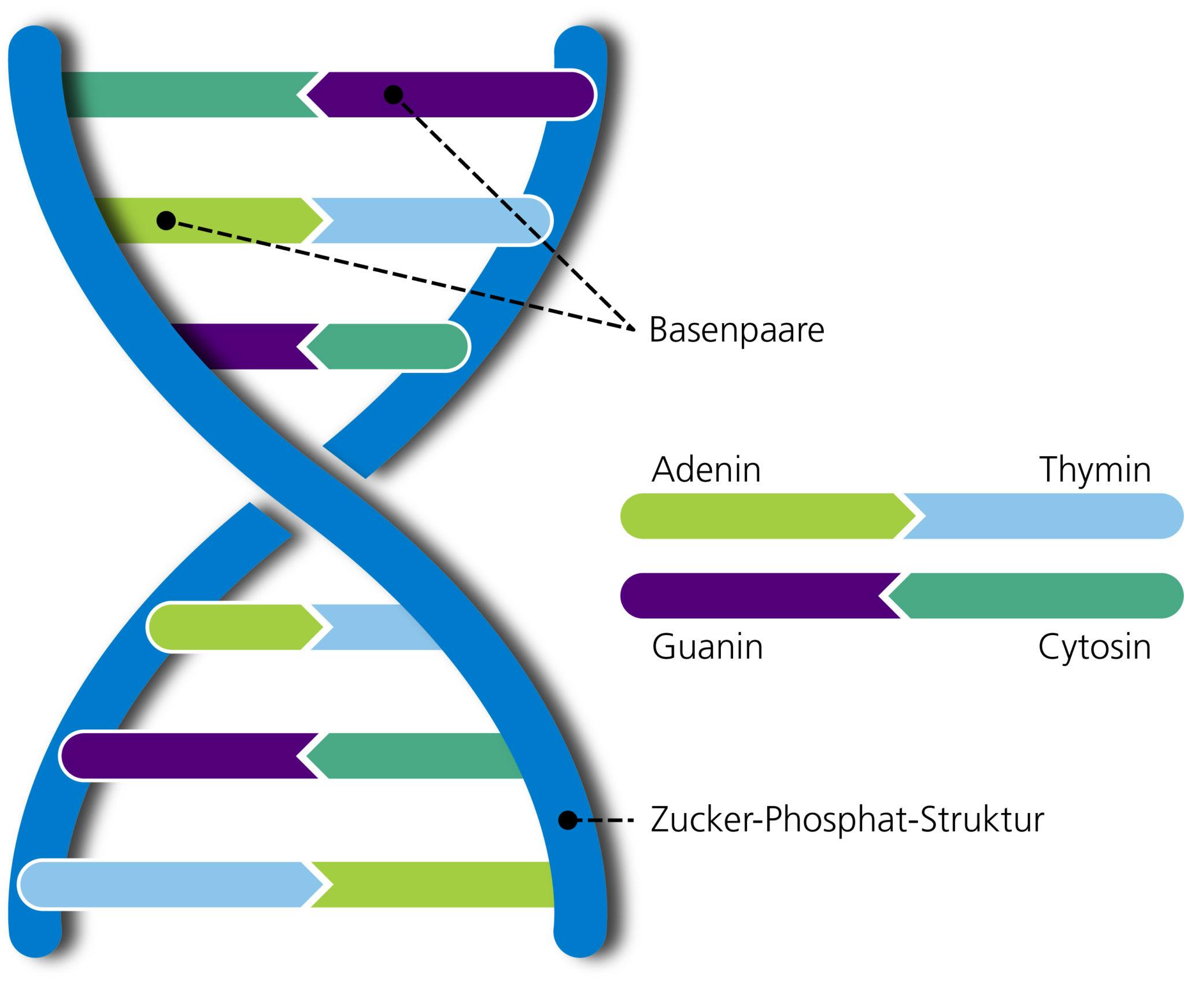 So sieht DNA mit ihren vier paarweise angeordneten Basen im Detail aus. Beim Menschen besteht die DNA aus rund 3,27 Milliarden Basenpaaren.