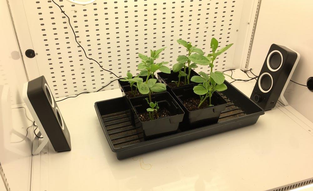 Dröhnender Versuchsaufbau: Biologen setzten Sojabohnen und Marienkäfer unterschiedlichen Geräuschen aus.