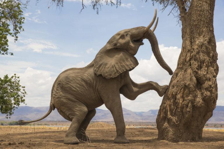 Männliche Säugetiere aus Afrika, wie dieser Elefantenbulle, haben eine Besonderheit: Sie tragen ihre Reproduktionsorgane im Körperinneren.