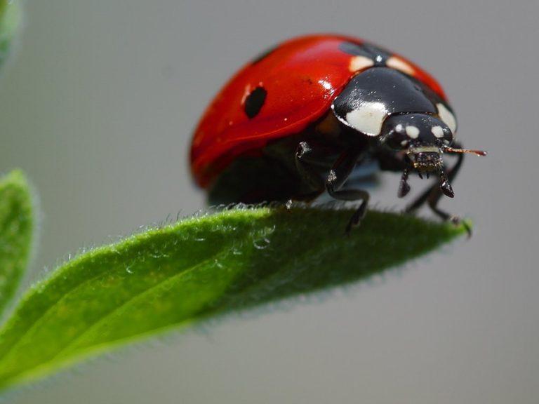 Ein Marienkäfer auf einem Blatt.