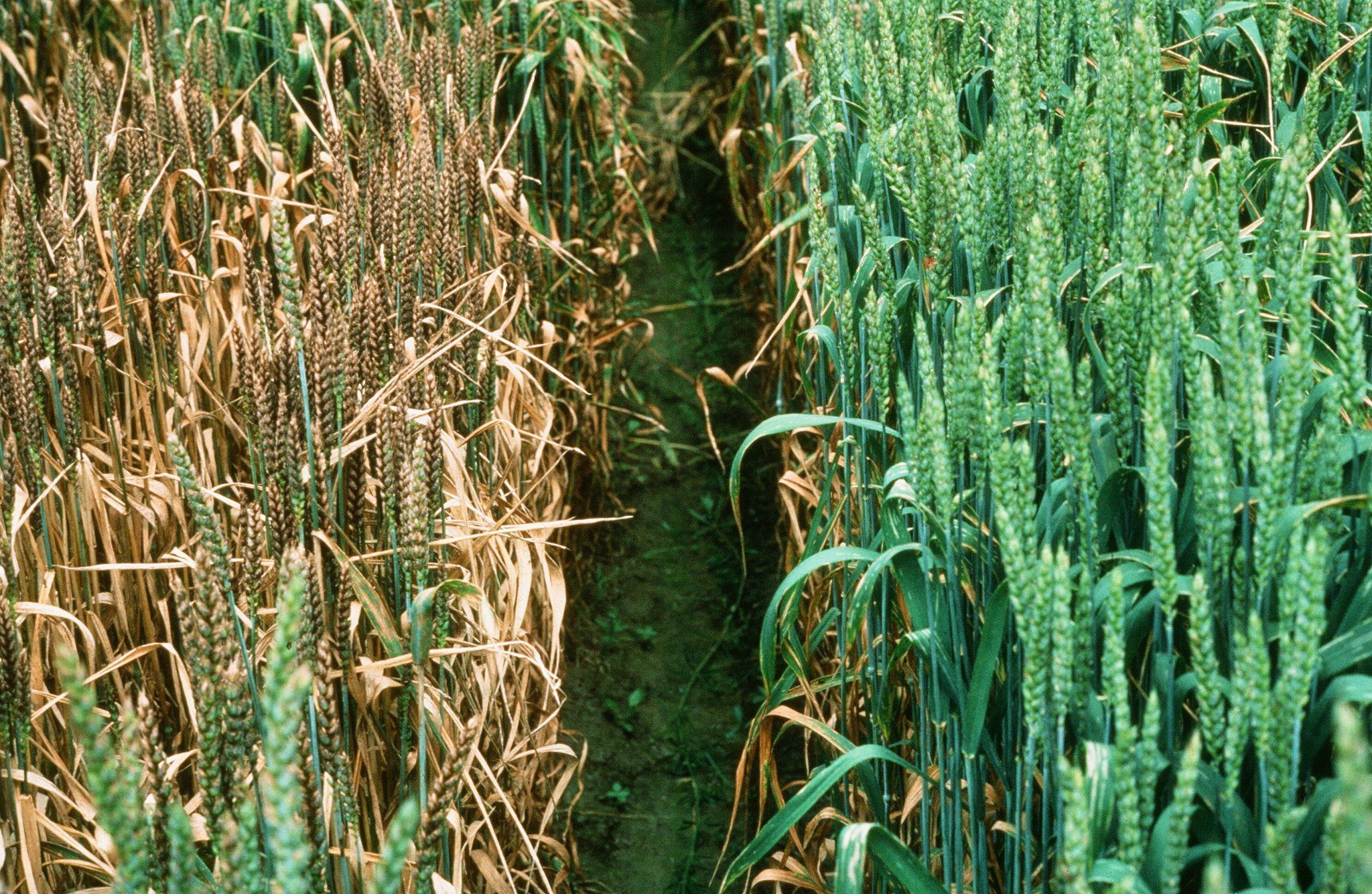 Zwei Weizensorten, die sehr unterschiedlich auf einen Pilz reagieren: Anders als die linke Sorte ist die rechte resistent gegen Septoria – eine der häufigsten Krankheiten von Schweizer Weizen.