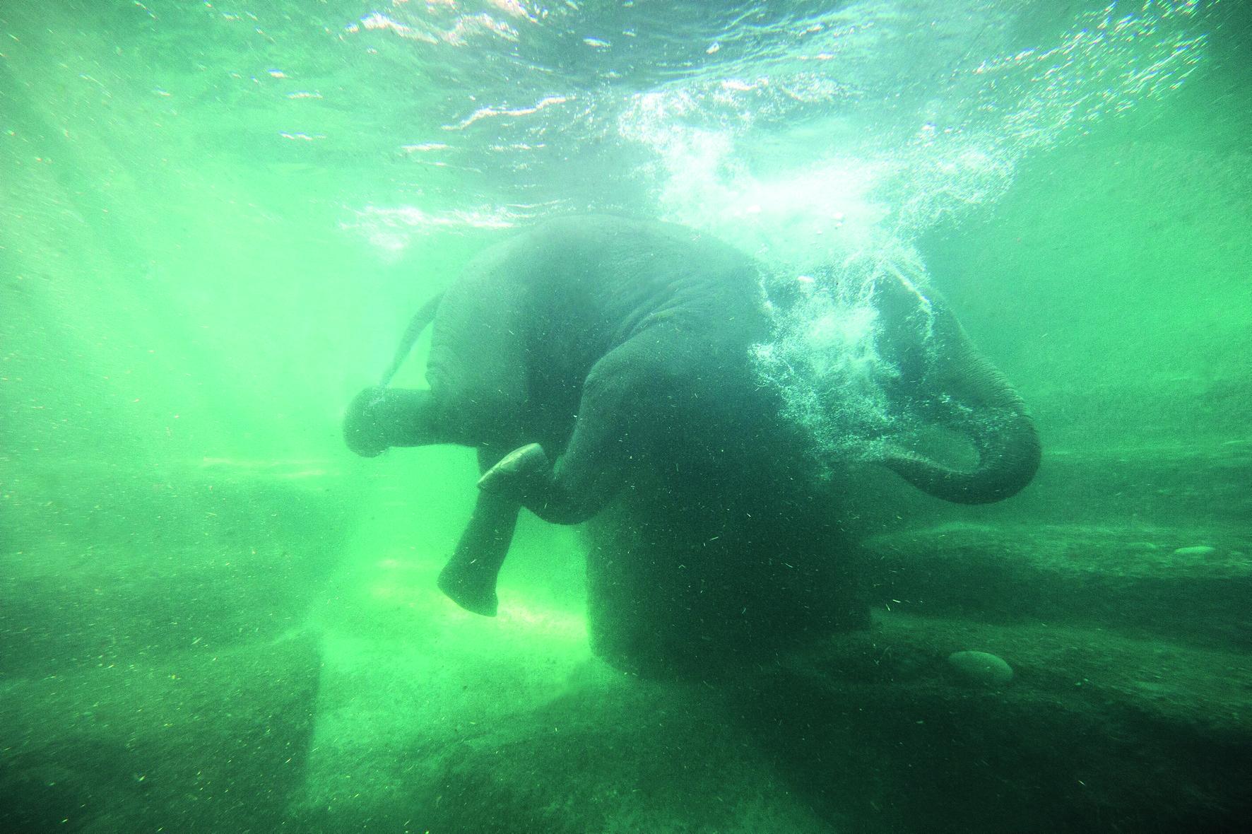 Die Dickhäuter lassen sich unter Wasser durch ein grosses Schaufenster beobachten.