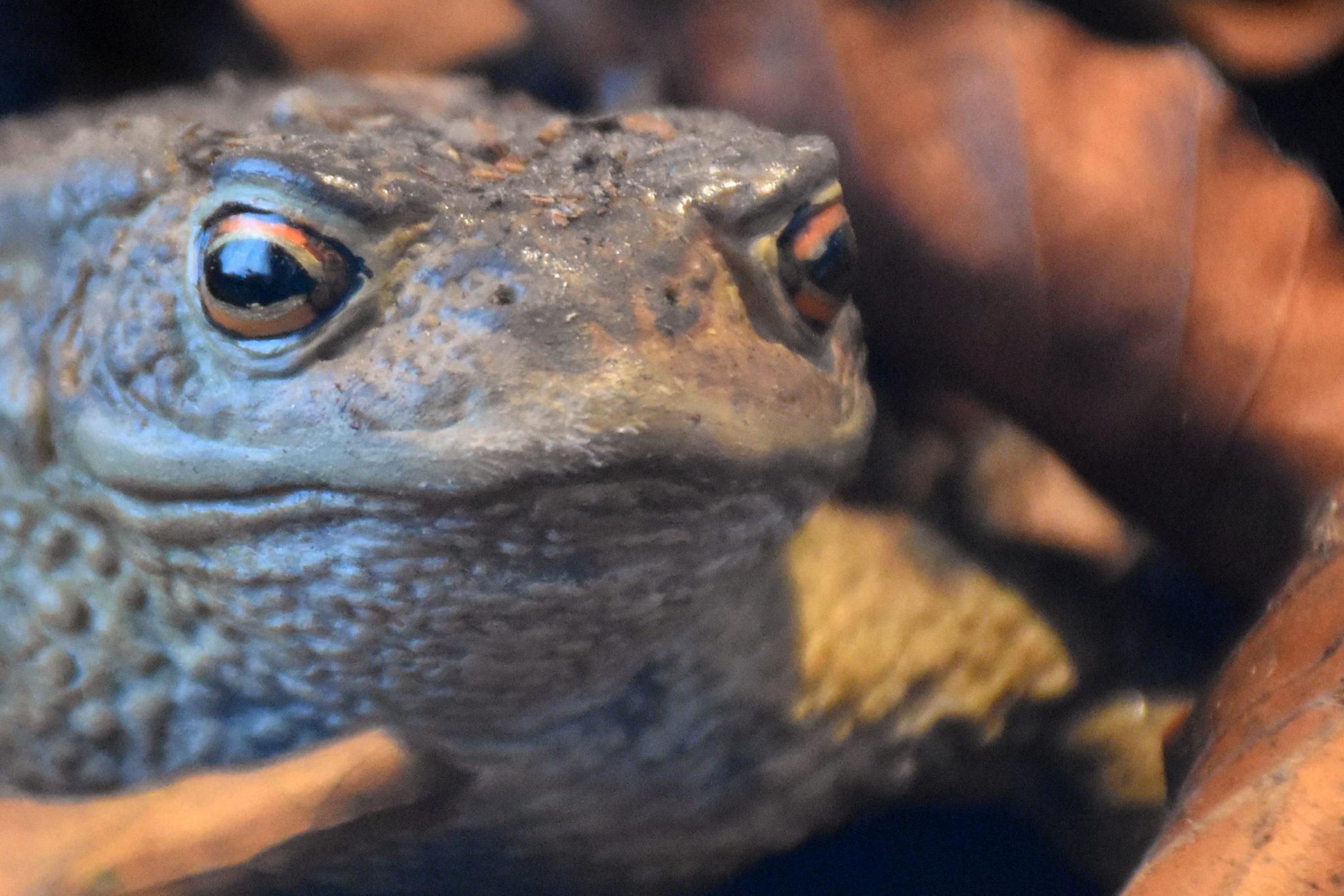 Eine Erdkröte.