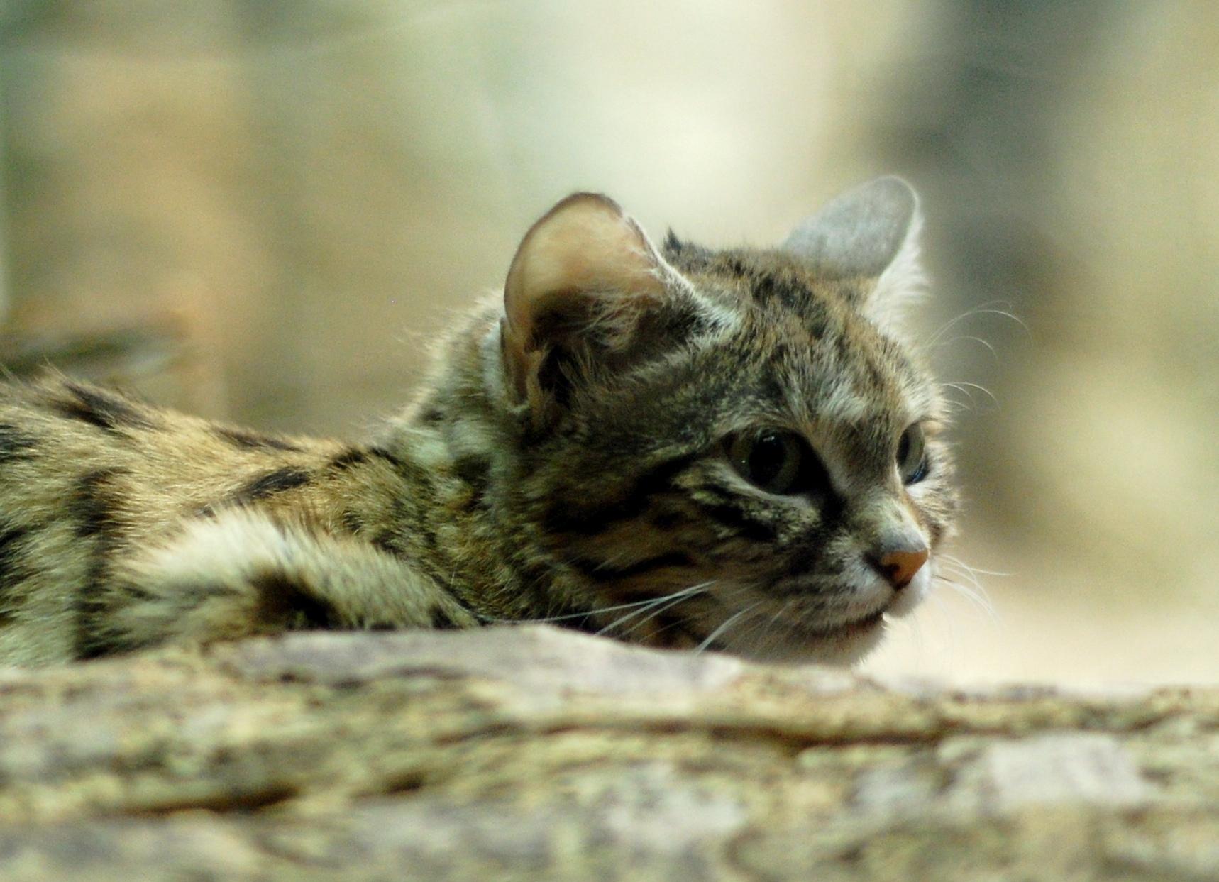 So sieht der effizienteste Killer unter den Wildkatzen aus. Für die Schwarzfusskatze enden 60 Prozent ihrer Raubzüge mit einem vollen Bauch.
