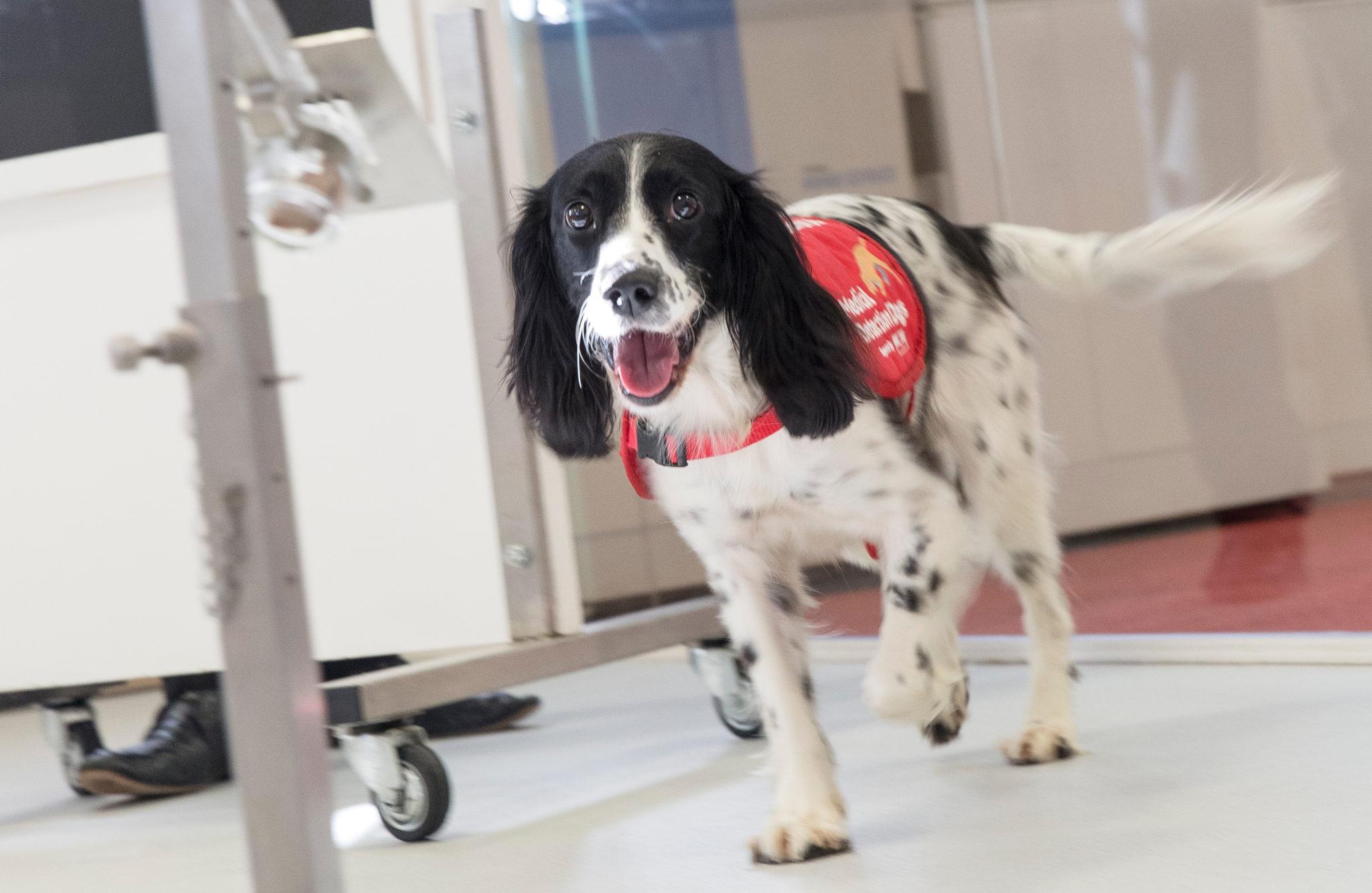 Für die Vierbeiner sind die Malaria-Tests wie ein Spiel. Es kommen allerdings nur sehr lernwillige Hunde mit einer besonders feinen Nase infrage.