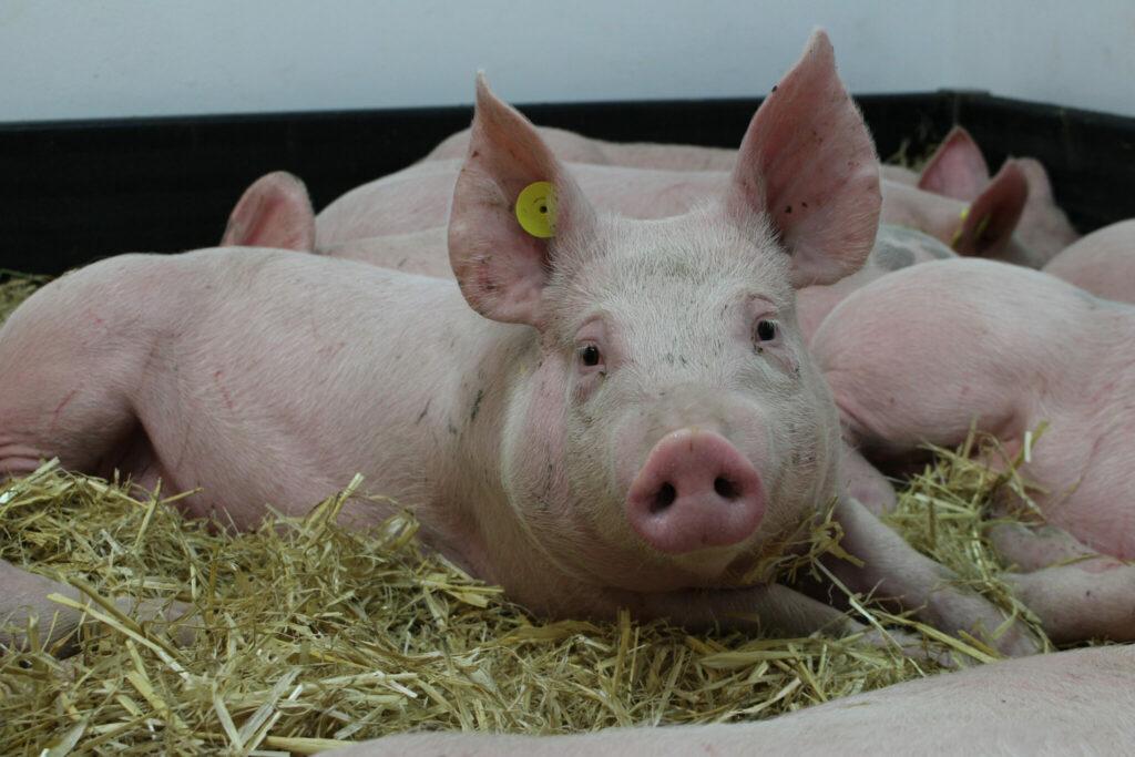 Hausschweine im Hochsicherheits-Forschungslabor des britischen Pirbright Institute. An ihnen wird die Afrikanische Schweinepest untersucht.