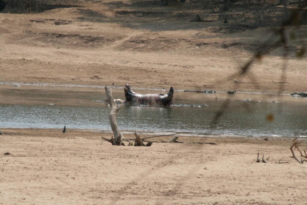 Ein Flusspferd, das an Milzbrand verendet ist, treibt im Fluss Luangwa in Sambia.