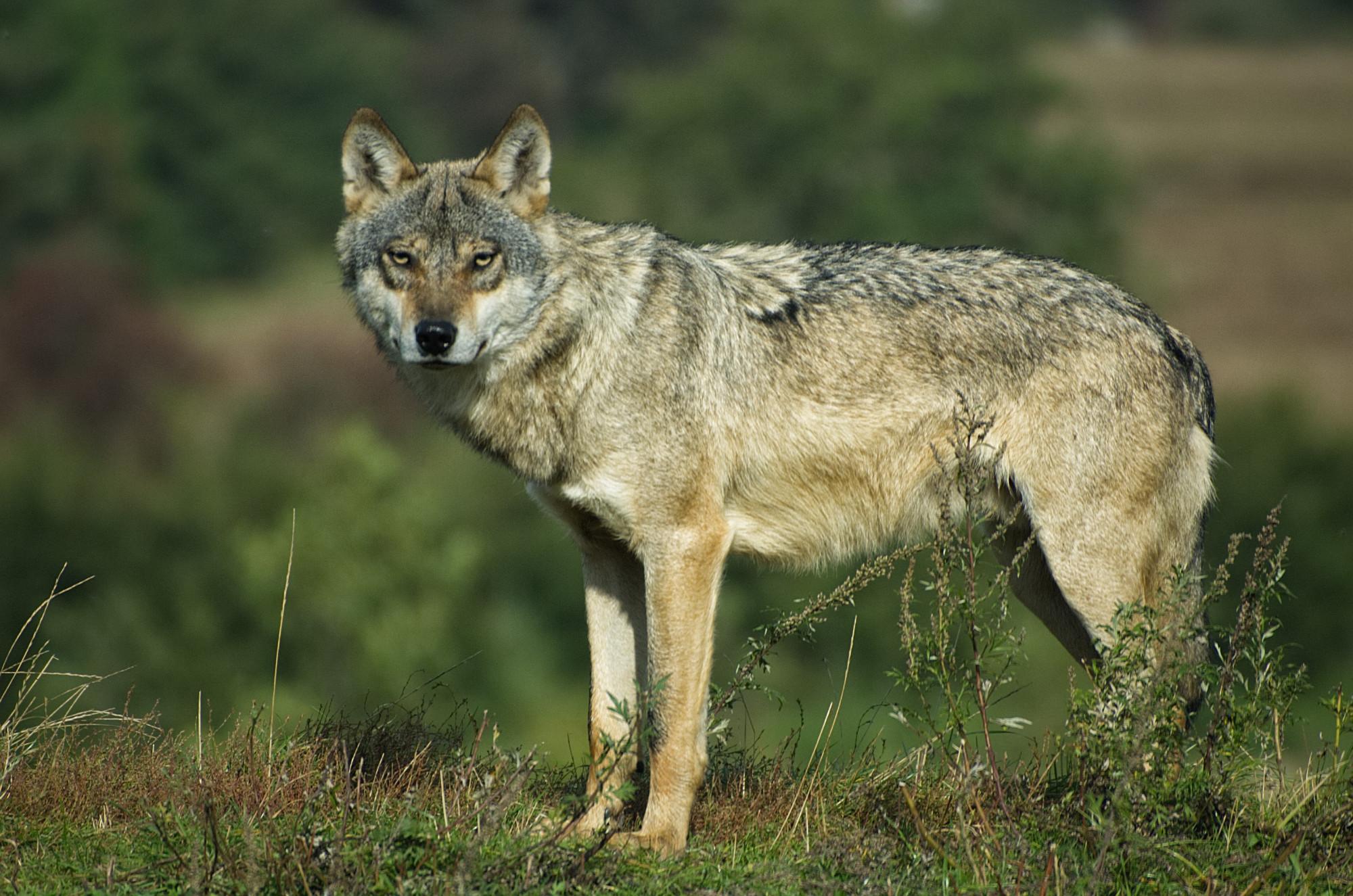 Ein Wolf in der Natur