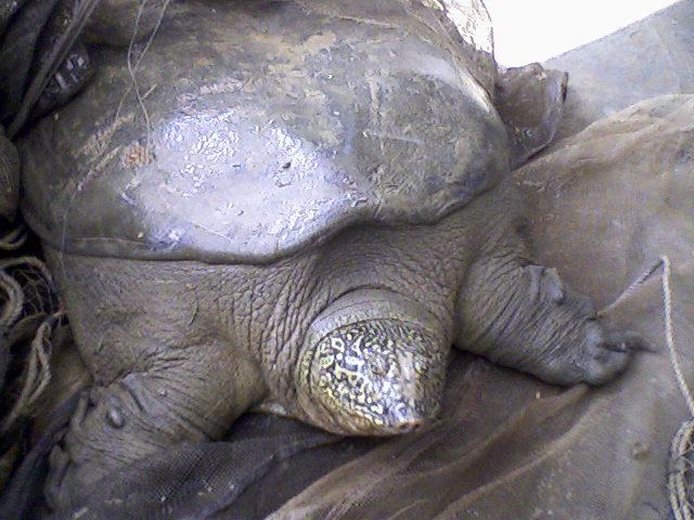 Eine seltene Jangtse-Riesenschildkröte