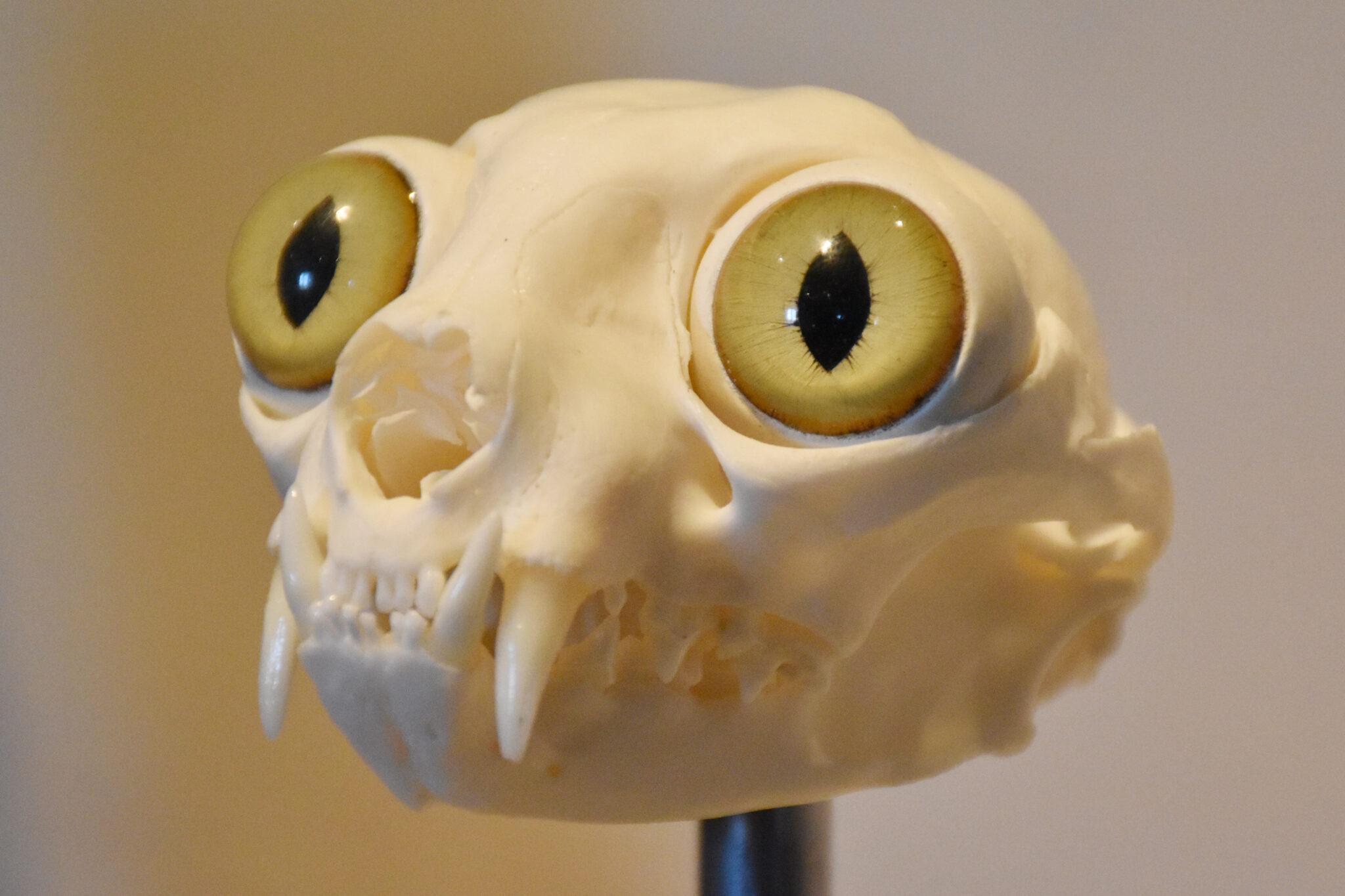 Skelett eines Katzenkopfs mit grossen Katzenaugen