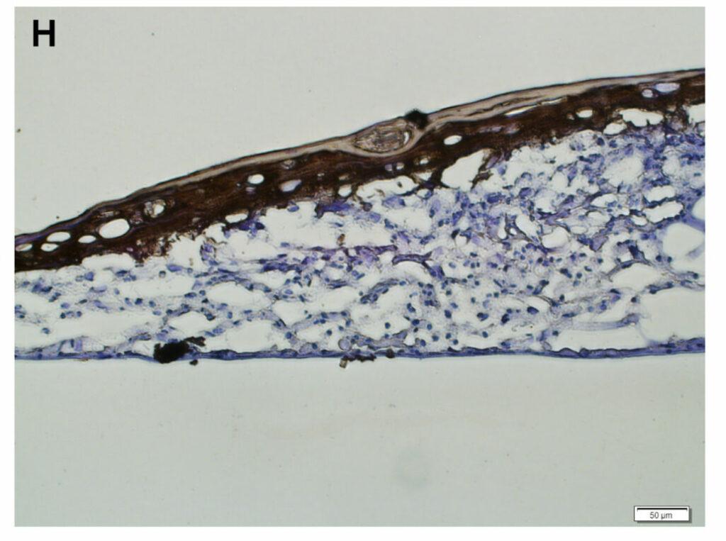 Querschnitt eines Hautmodells