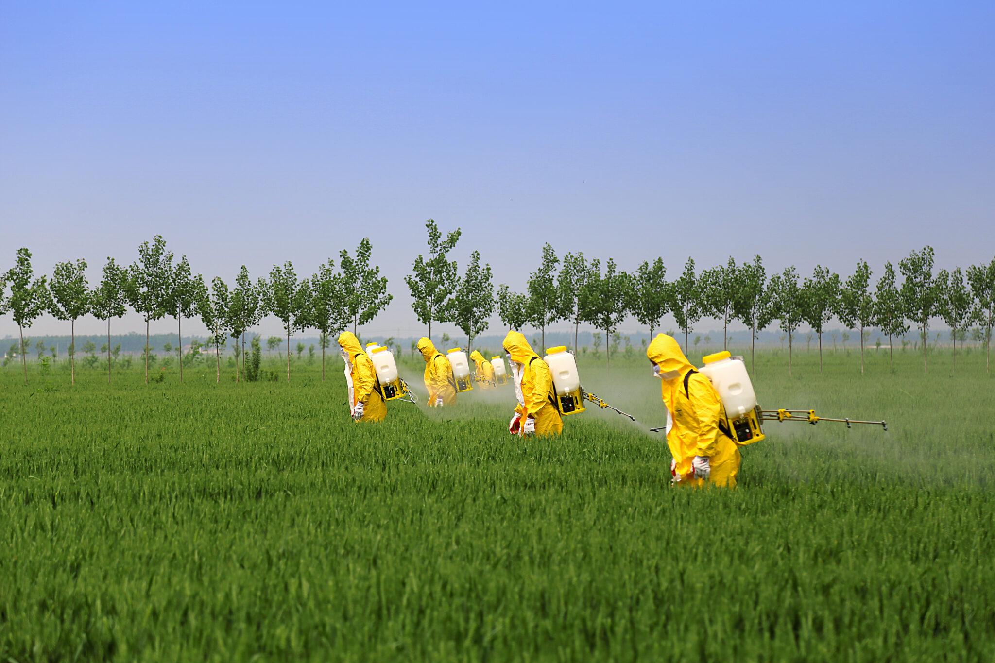 Sie werden zwar oft gespritzt, doch moderne Weizensorten gedeihen ohne Pestizide besser als bisher gedacht.