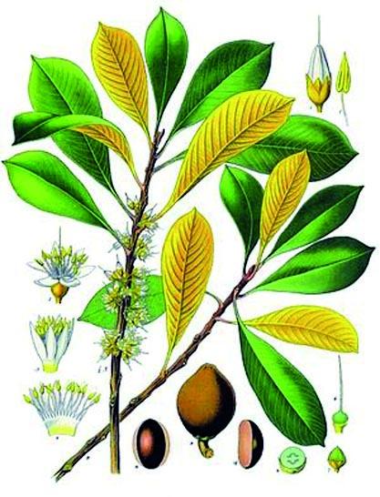 Guttapercha-Pflanze.