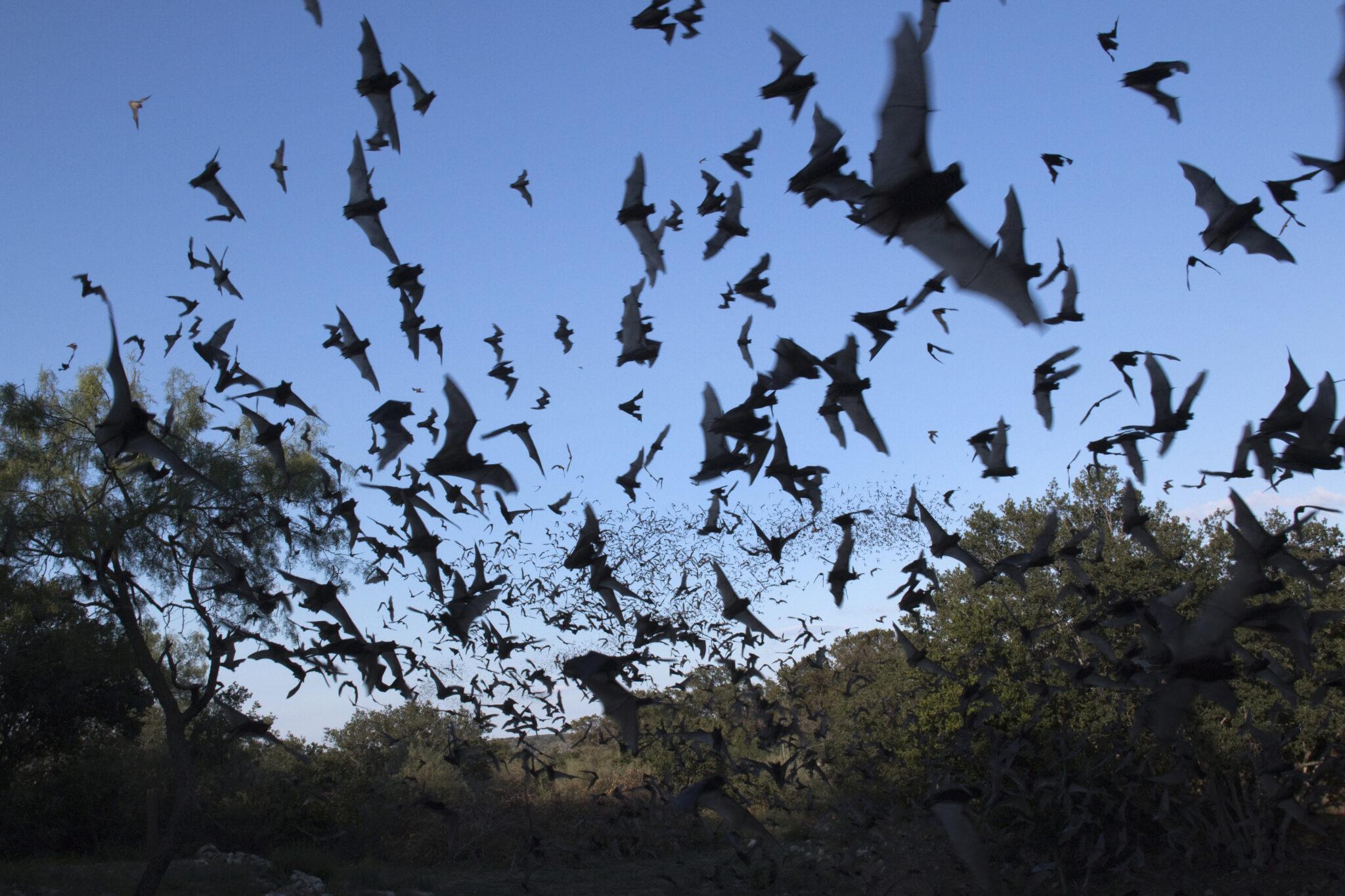 Viele fliegende Fledermäuse zwischen Bäumen