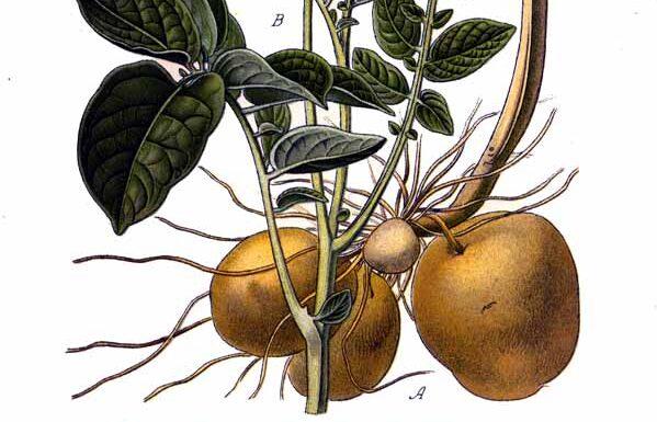 Wissenschaftliche Illustration einer Kartoffelpflanze