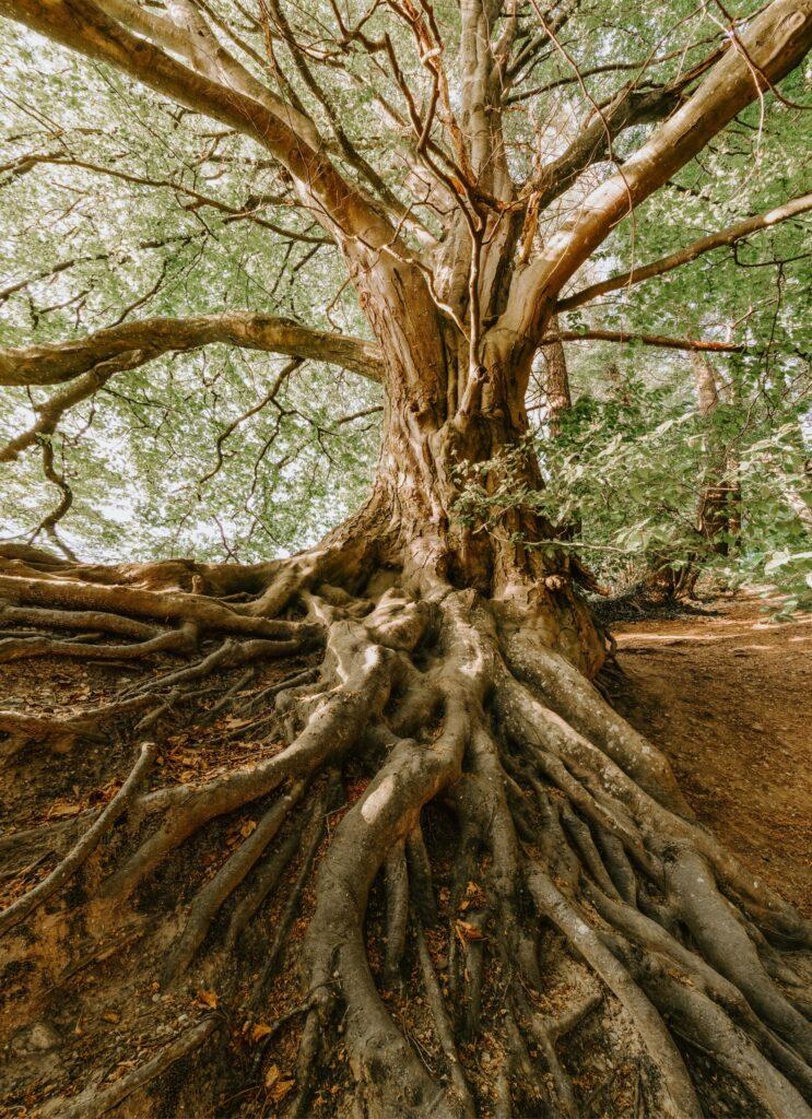 Fotografie von einem Baum und seinen Wurzeln.
