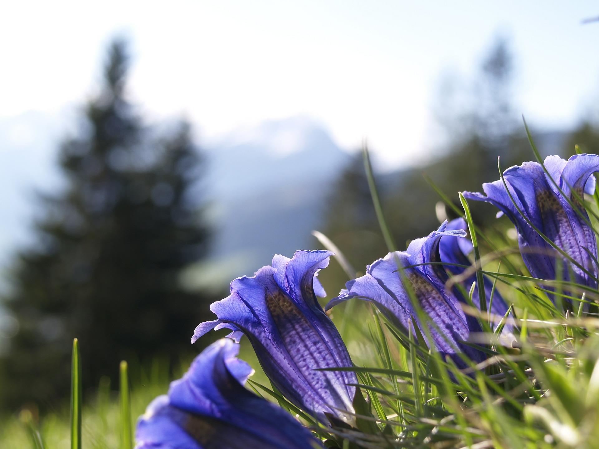 Um den steigenden Temperaturen zu entkommen, müssen Bergpflanzen wie der Enzian in höhere, kältere Gebiete wandern.