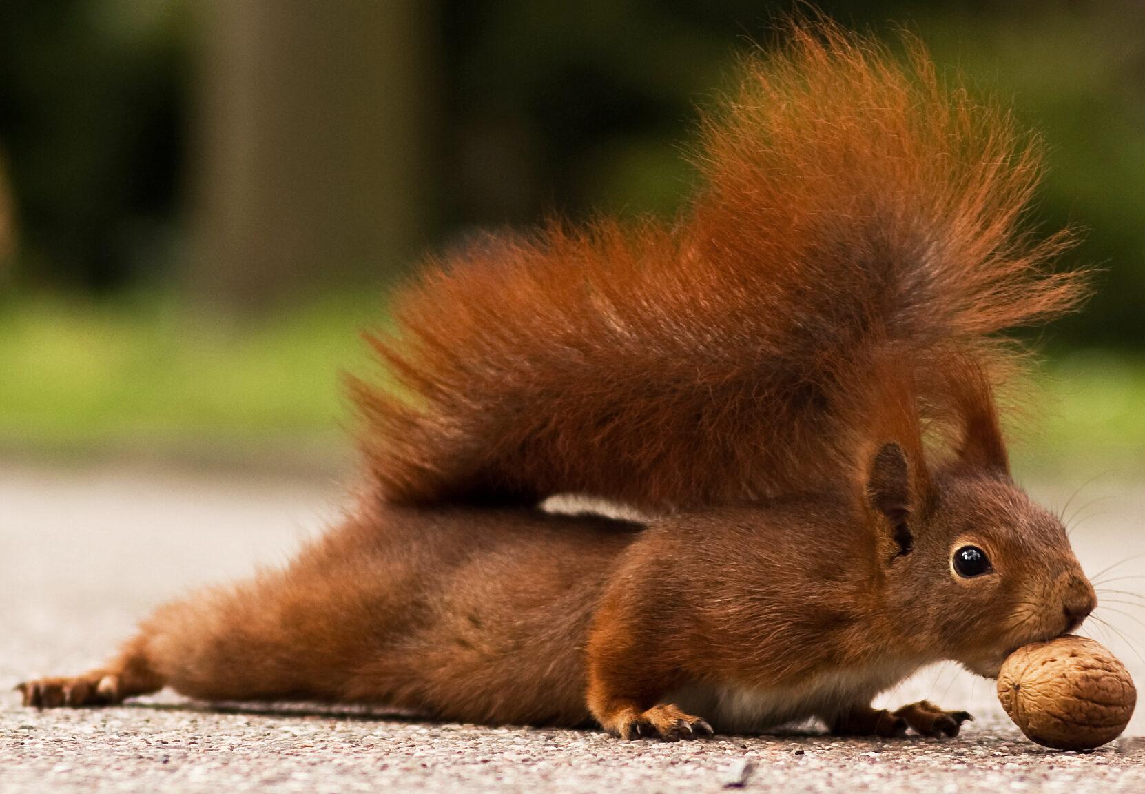 Eichhörnchen mit Baumnuss im Mund.