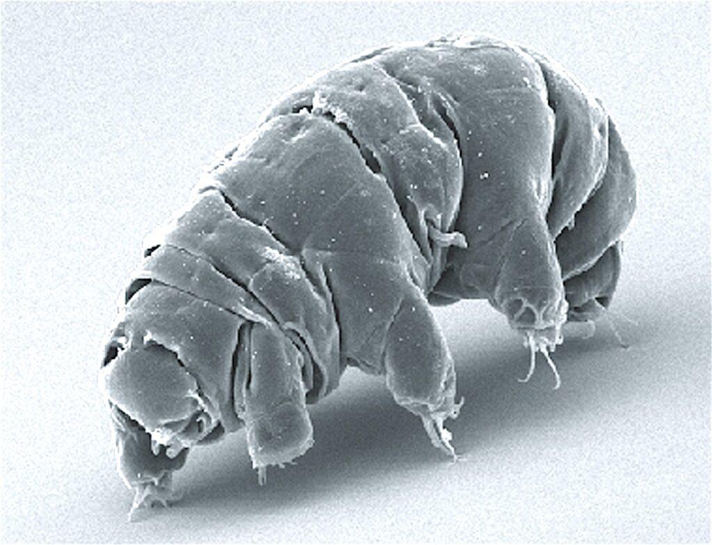 Das Bärtierchen Milnesium tardigradum.