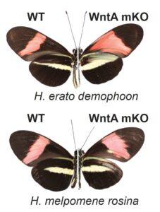 Links sind von den Spezies H. erato demophoon und H. melpomene rosina jeweils die Flügelmuster zu sehen, die in freier Wildbahn auftauchen (WT). Die rechte Seite zeigt die Variante mit ausgeschaltetem WntA-Gen (WntA mKO).