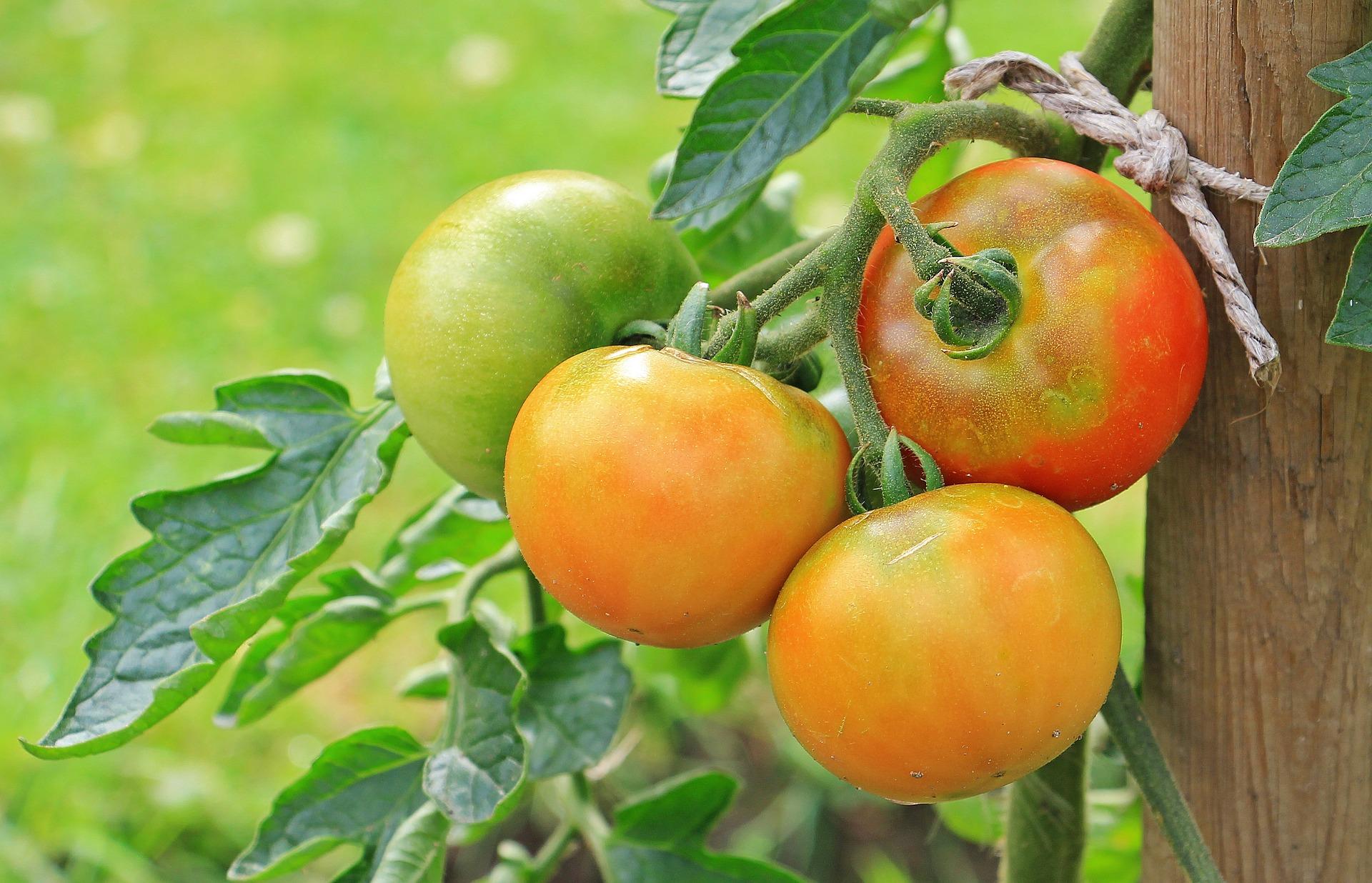 Bild einer Tomatenstaude, paar davon bereits reif.