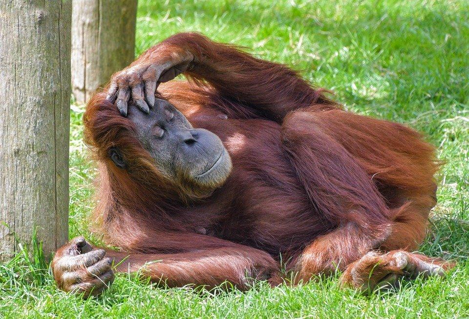 Ein in Pose liegender Orangutan