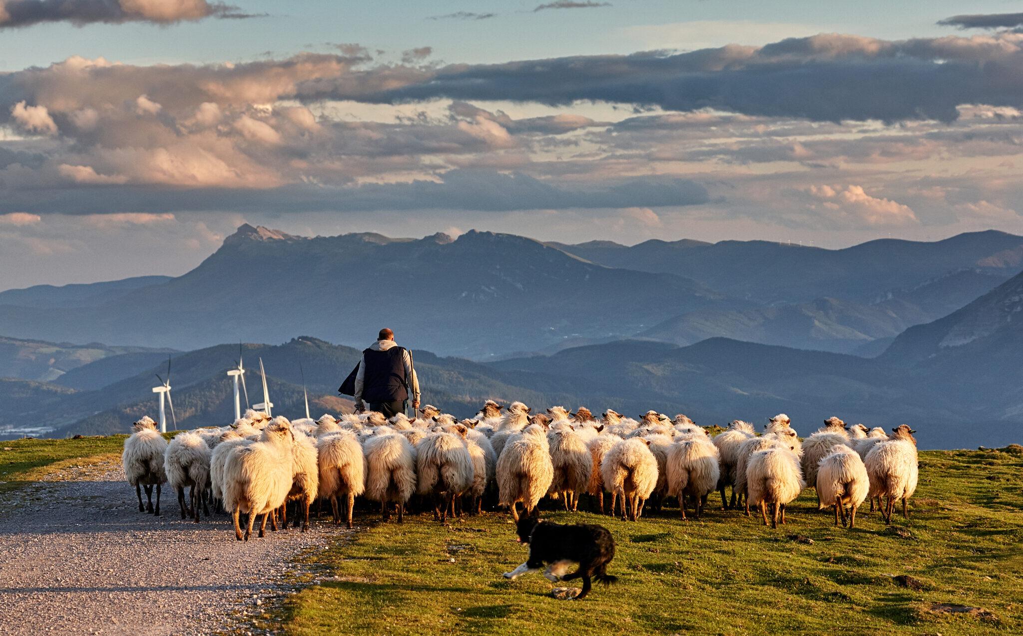 nordspanischer Schafhirte mit Herde und Schäferhund